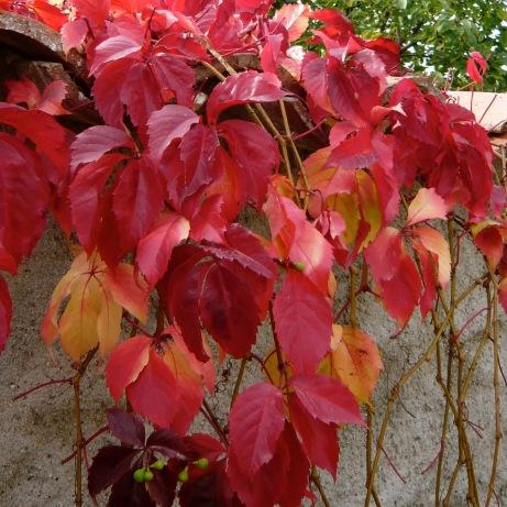 Autumn vines.